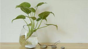水培植物转土培?做好这三点就可以!