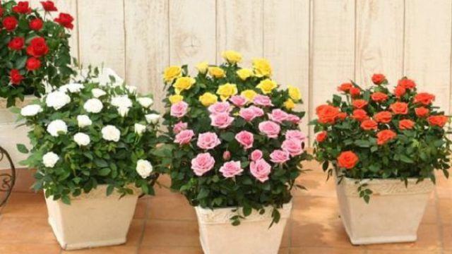 蔷薇花可以盆栽吗
