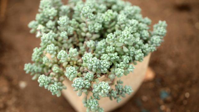 8种最容易爆盆的多肉植物
