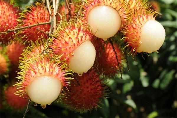 红毛丹的养殖方法