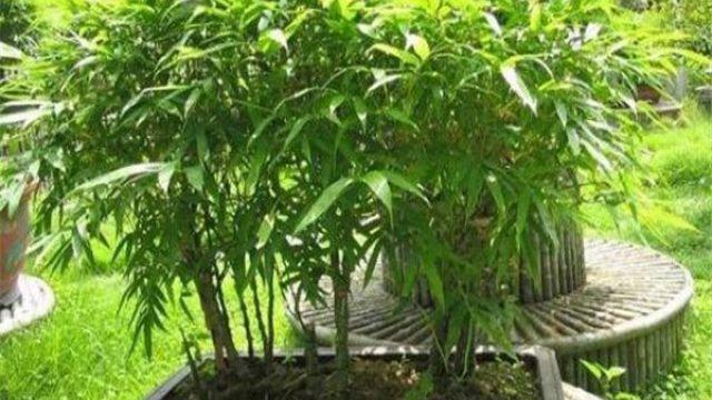 盆栽竹子怎么施肥