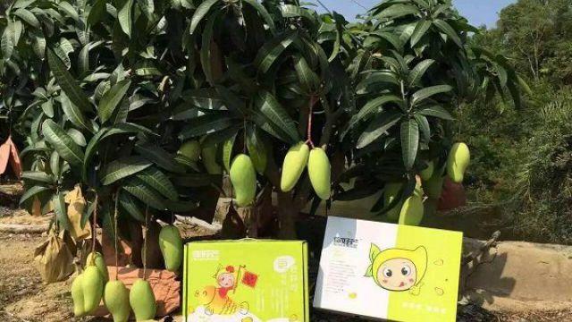 芒果盆景怎么养