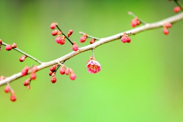 盆栽梅花怎么浇水