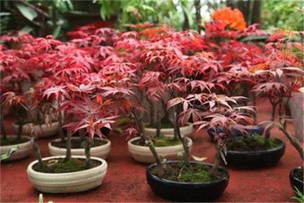 红枫盆景怎么浇水