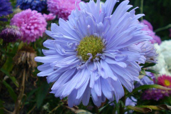翠菊怎么施肥,这样做夏秋花朵开不停!