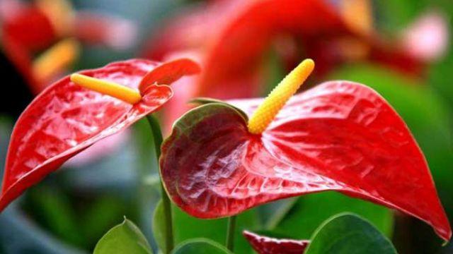 火鹤花和红掌有什么区别