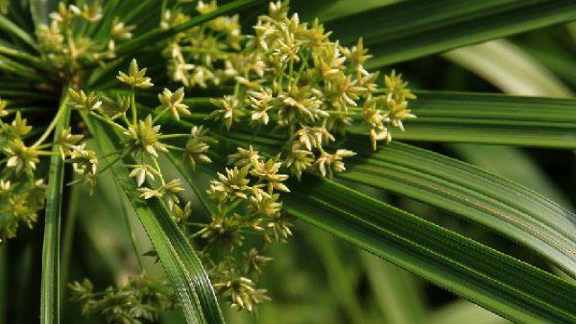 水竹的养殖方法和注意事项