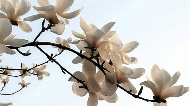 白玉兰的花语及象征意义