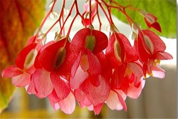 竹节海棠不开花怎么办