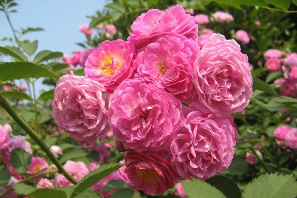 蔷薇花有毒吗