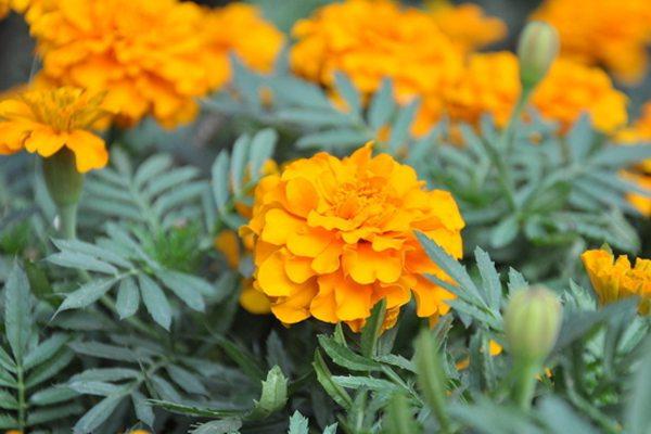 万寿菊什么时候开花