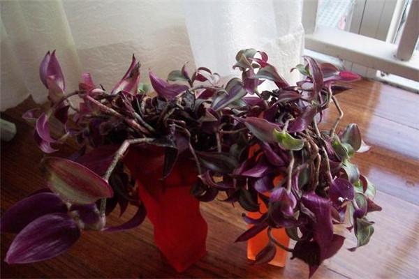 彩叶吊兰的养殖方法