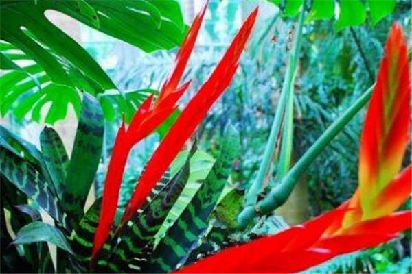 虎纹凤梨的繁殖方法