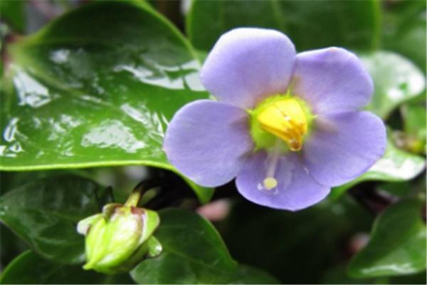 紫芳草的繁殖方法