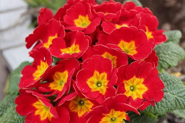 如何使报春花在元旦开花