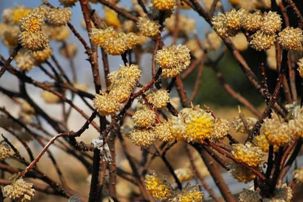 结香冬天能开花吗