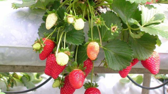 冬季草莓的种植方法