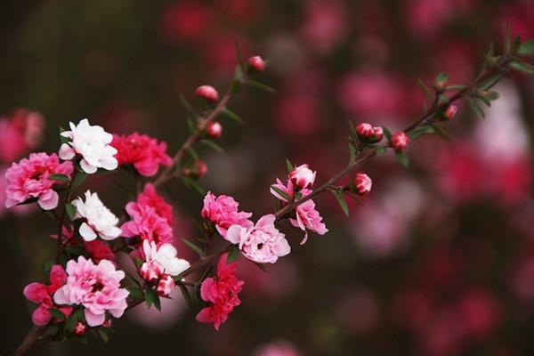松红梅冬天怎么浇水
