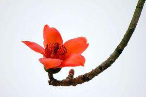 怎样培养木棉盆景