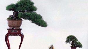 黑松盆景的养护方法