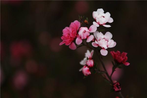 如何使松红梅在圣诞开花