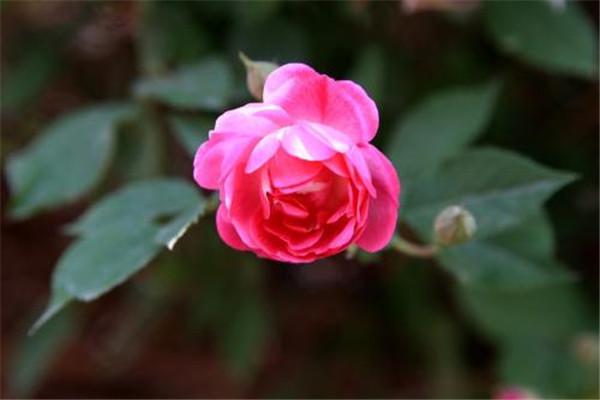 苦水玫瑰的病虫害防治