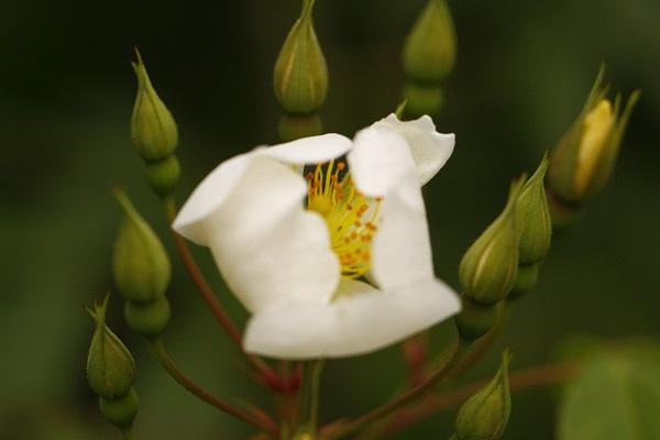 野蔷薇的功效与作用