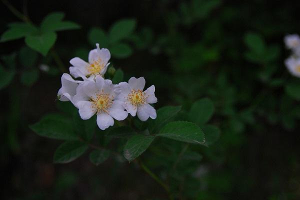 野蔷薇花怎么繁殖