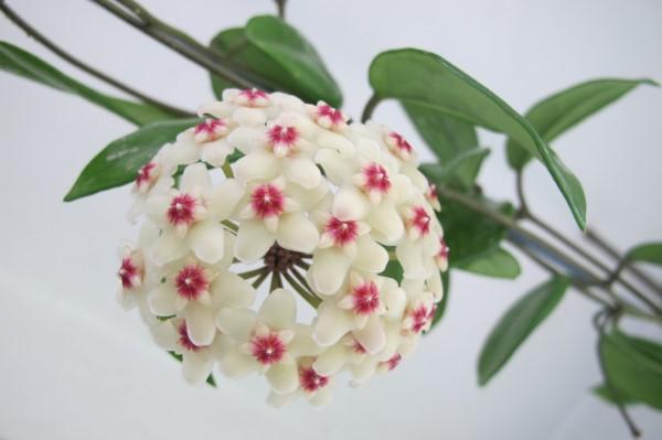 斑叶球兰的繁殖方式