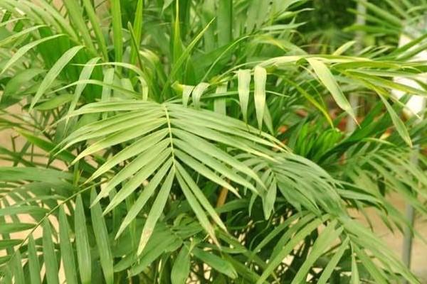 夏威夷椰子怎么浇水