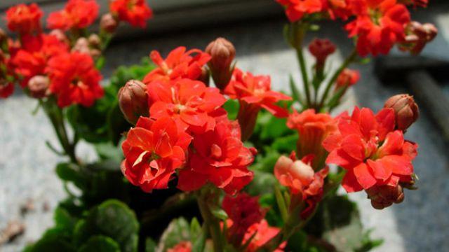 长寿海棠和长寿花的区别是哪些?
