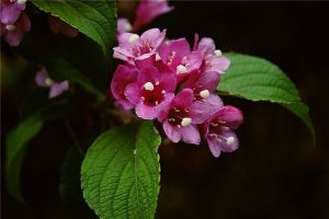 海仙花的病虫害防治