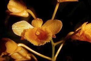 束花石斛的病虫害防治