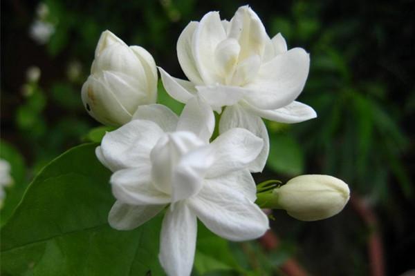 茉莉花冬季室内能开花吗