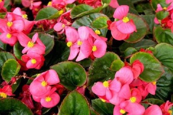 四季海棠不开花应该怎么办