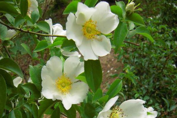 硕苞蔷薇的病虫害防治