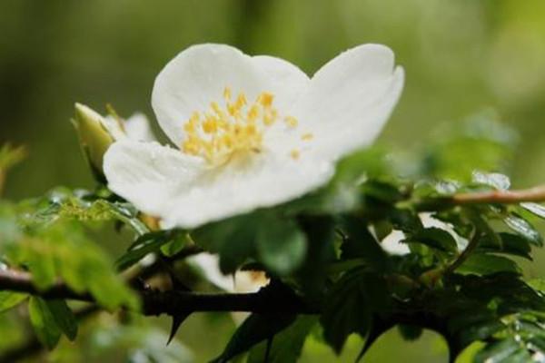 峨眉蔷薇的病虫害防治