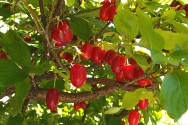 山茱萸种子怎么种