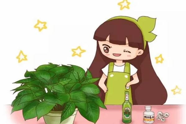 啤酒浇花加片药,绿萝3天蹿上墙,长寿能开4、5次!