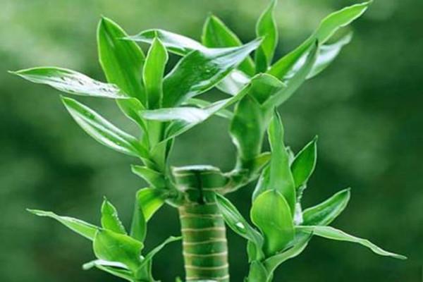 分不清楚观音竹和富贵竹?把握好这三点,完美的区分开它们!