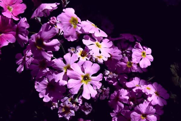 樱草花的繁殖方法