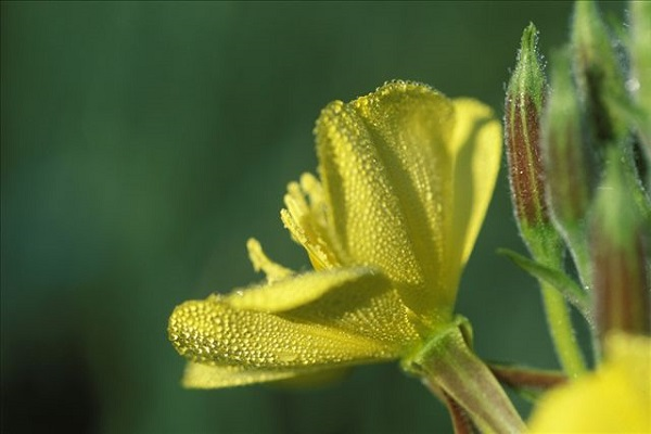 樱草花和樱花草是一种植物吗
