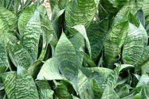 虎耳兰的病虫害防治