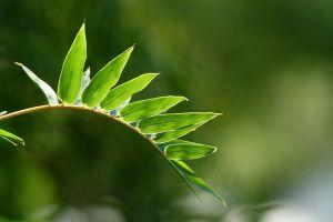 凤尾竹的病虫害防治