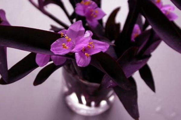 紫竹梅什么时候开花