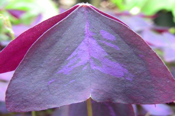 紫叶酢浆草如何爆盆