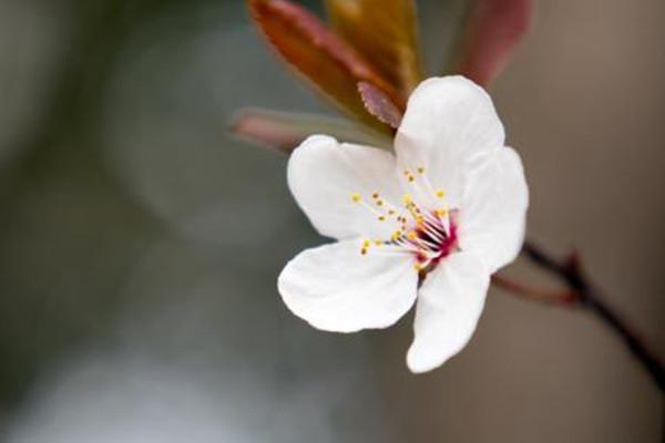 樱花开花后怎么办?