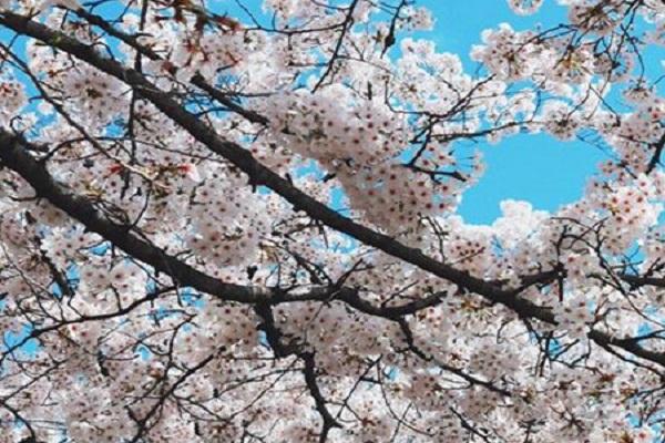 樱花的繁殖方法