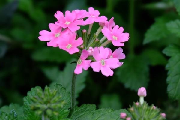 如何用种子种植美女樱