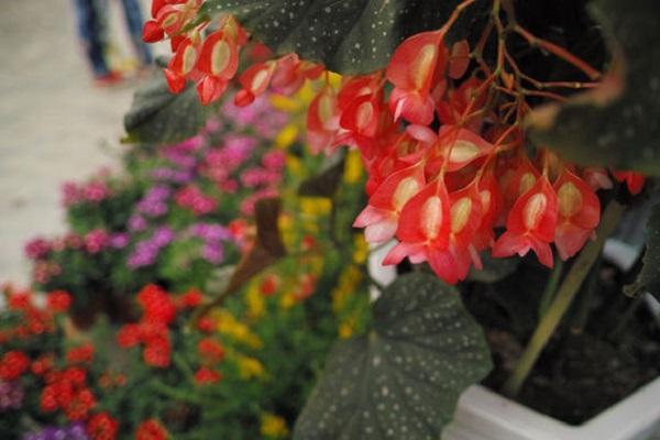 星点秋海棠的繁殖方法